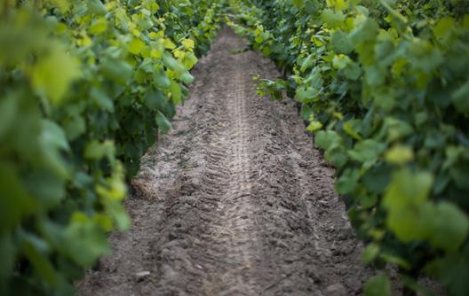 chemin vignes luneau papin - Domaine Luneau Papin