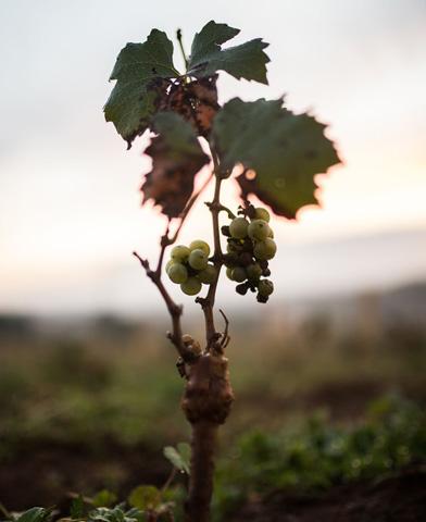 pied vigne luneau papin - Domaine Luneau Papin