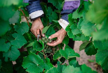 taillage vignes - Domaine Luneau Papin