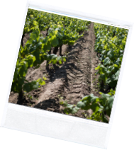 vin illus2 2 - Domaine Luneau Papin