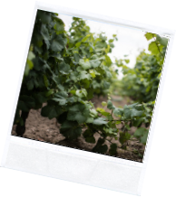 vin illus2 9 - Domaine Luneau Papin
